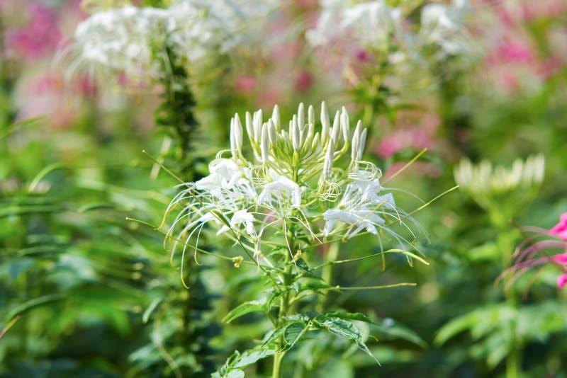 Fleur d'araignée blanche photo libre de droits