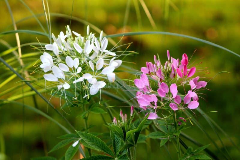 Fleur d'araignée deux ou usines fleurissantes de hassleriana de Cleome avec les fleurs blanches et roses sur le fond vert-foncé d photographie stock libre de droits