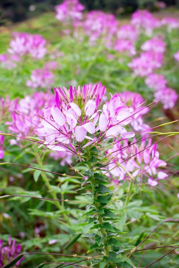 Fleur d'araignée rose image libre de droits