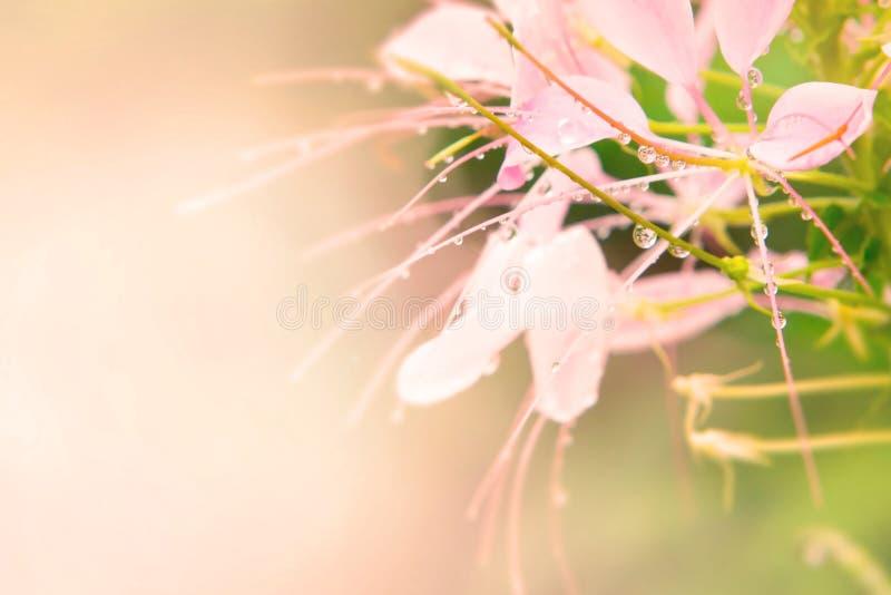 Fleur d'araignée rose photographie stock