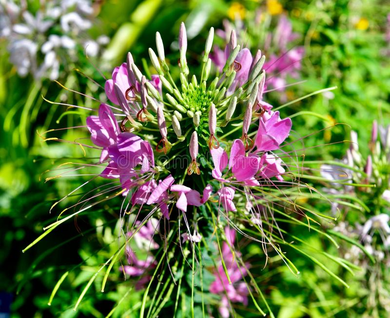 Fleur d'araign?e image stock