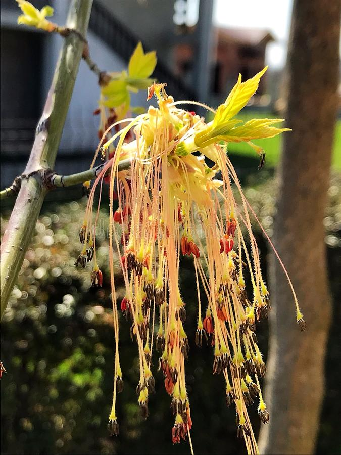 Fleur d'arbre d'érable photographie stock