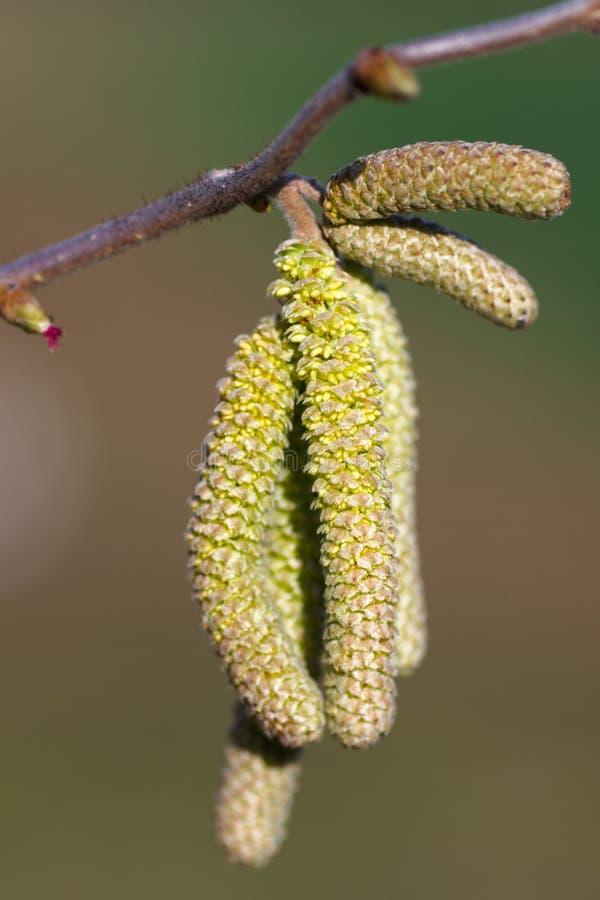 Fleur d 39 arbre de bouleau au printemps image stock image - Arbre fleur mauve printemps ...