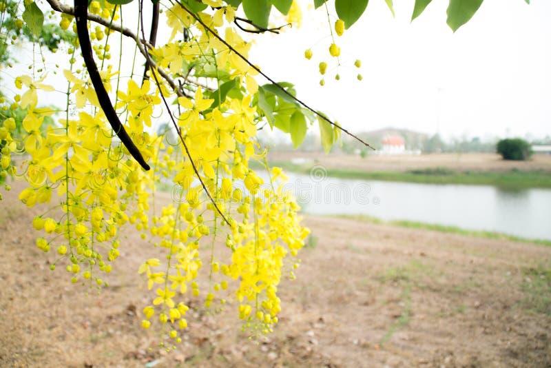 Fleur d'arbre de douche d'or image libre de droits
