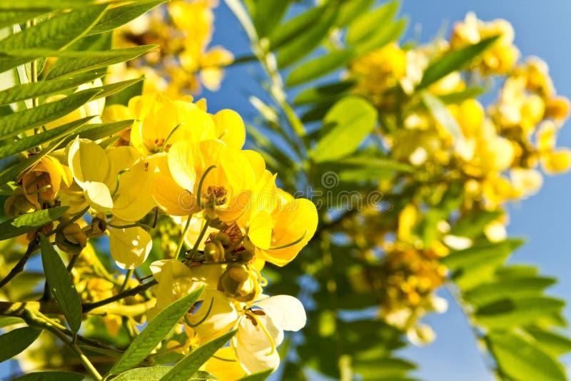 Fleur d'arbre de fistule de casse photos libres de droits