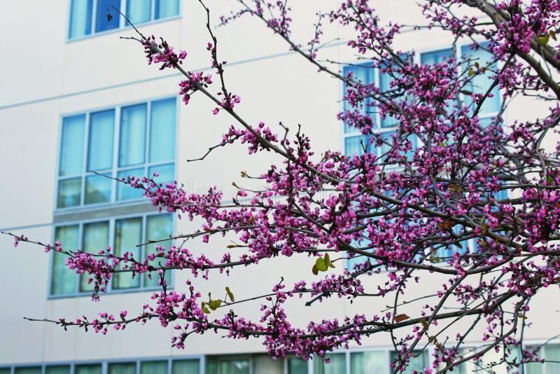 Fleur d'arbre de judas, siliquastrum de Cercis photo stock