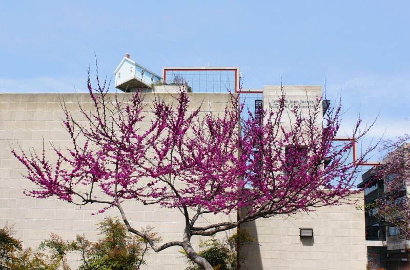 Fleur d'arbre de judas, siliquastrum de Cercis photo libre de droits