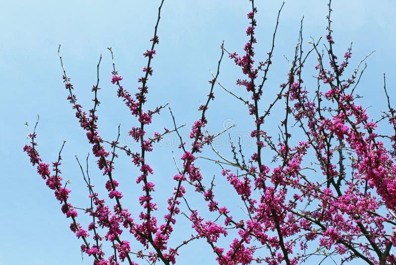 Fleur d'arbre de judas, siliquastrum de Cercis images libres de droits