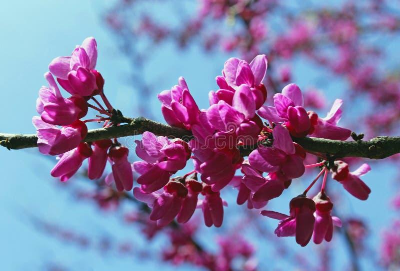 Fleur d'arbre de judas, siliquastrum de Cercis image libre de droits
