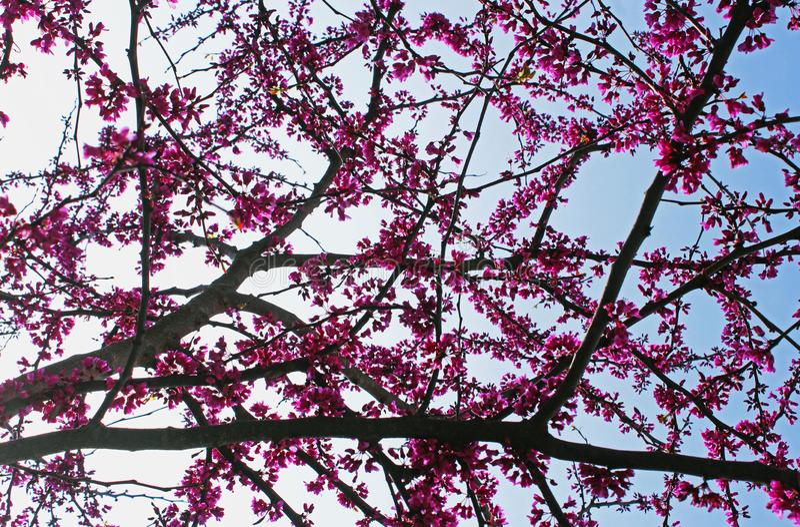 Fleur d'arbre de judas, siliquastrum de Cercis photos libres de droits