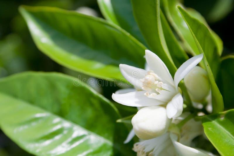 Fleur d'arbre orange photos stock