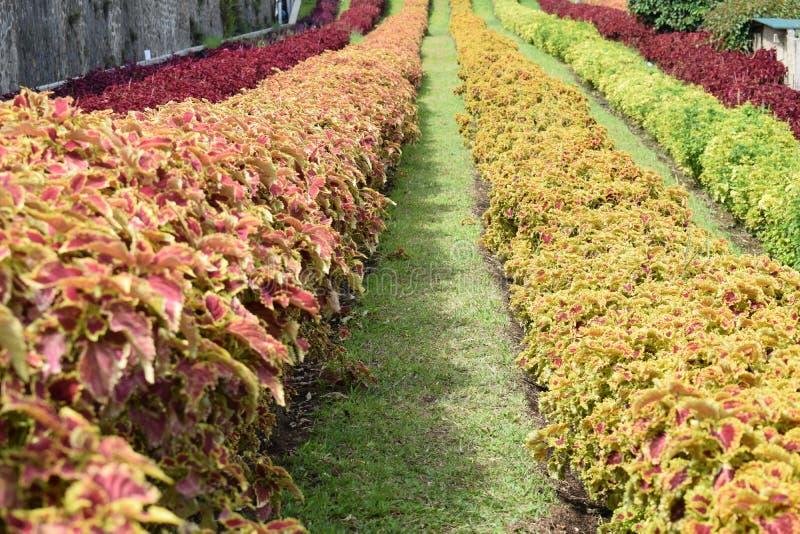 Fleur d'arc-en-ciel dans le jardin photos stock