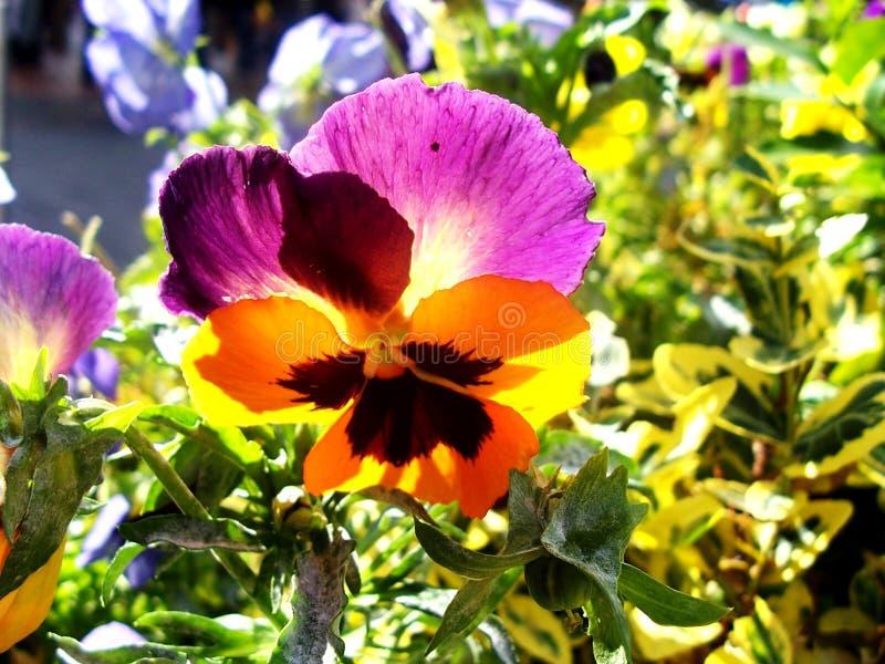Fleur d'arc-en-ciel sur Sunny Day images stock