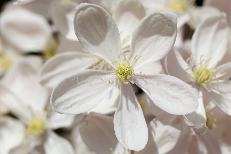 Fleur d'Armandii de Clematis photographie stock libre de droits