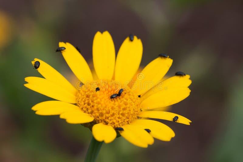Fleur d'arnica avec des scarabées photographie stock