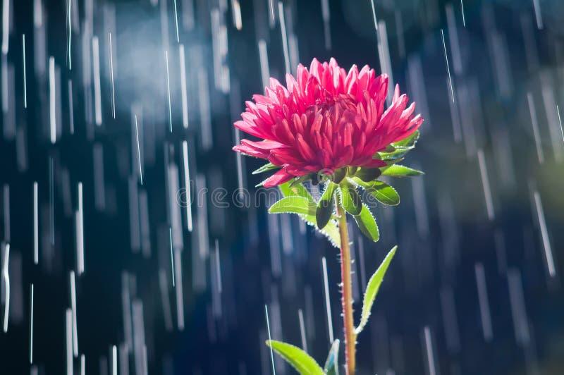 Fleur d'aster sur les voies de fond des gouttes de pluie image stock
