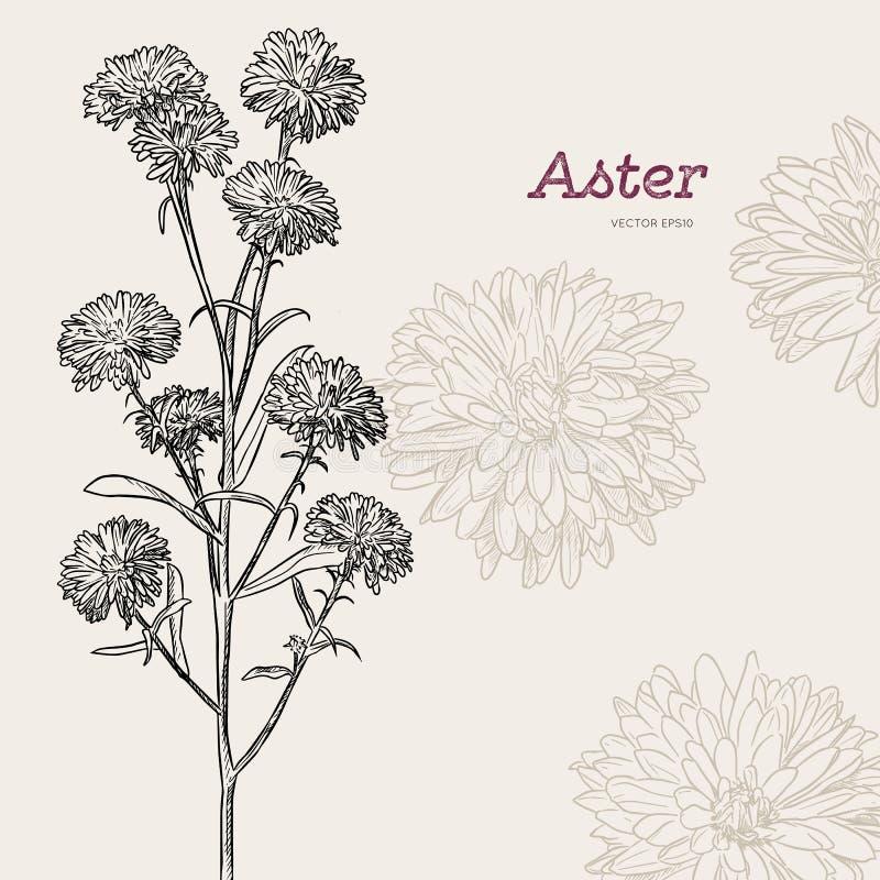 Fleur d'aster, vecteur de croquis illustration de vecteur
