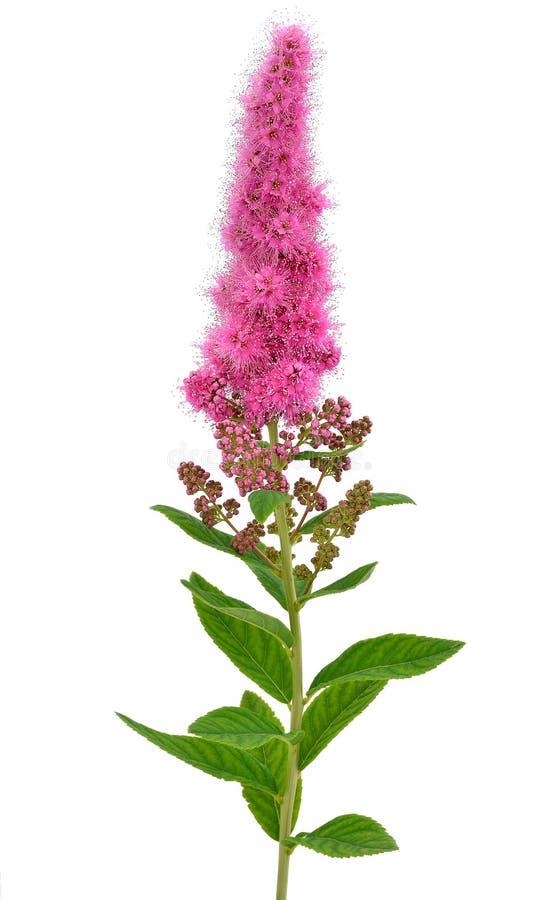 Fleur d'Astilbe photo stock