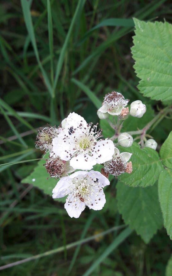 Fleur d'aubépine photos stock