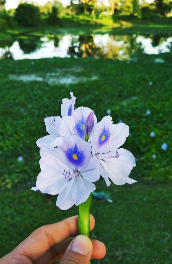 Fleur d'Eichhornia photos stock