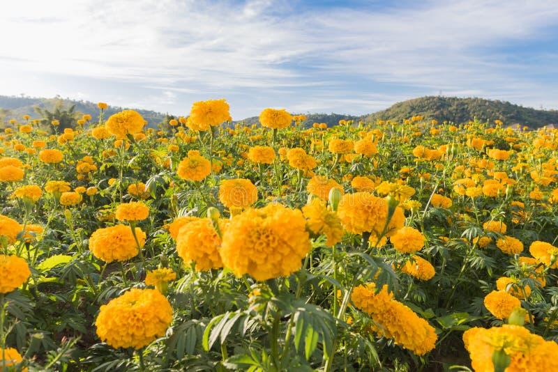 Fleur d'erecta de soucis ou de Tagetes image libre de droits