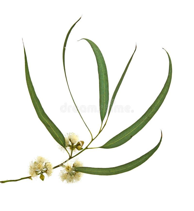 Fleur d'eucalyptus photos stock