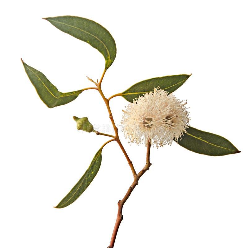 Fleur d'eucalyptus photo libre de droits