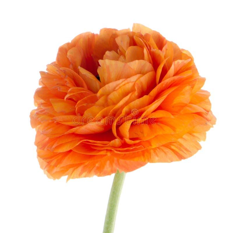 Fleur d'Eustoma photo libre de droits