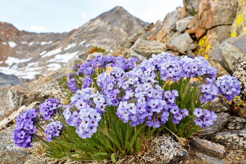 Fleur d'Eximium de Polemonium (l'échelle de Jacob, Skypilot) images stock