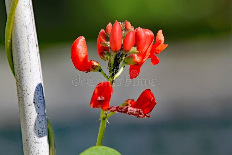 Fleur d'haricot d'Espagne infestée avec les aphis noirs images stock