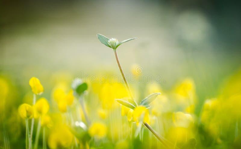 Fleur d'herbe avec l'arachide de pinto image stock