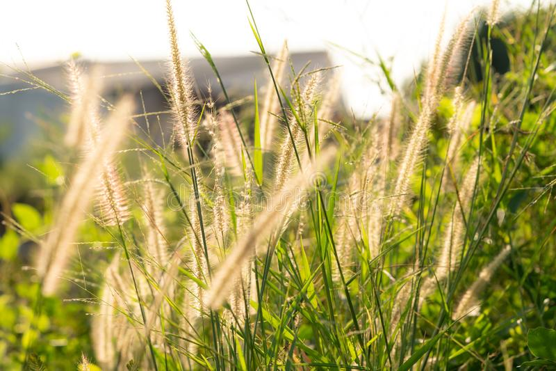 Fleur d'herbe dans le lever de soleil photo libre de droits