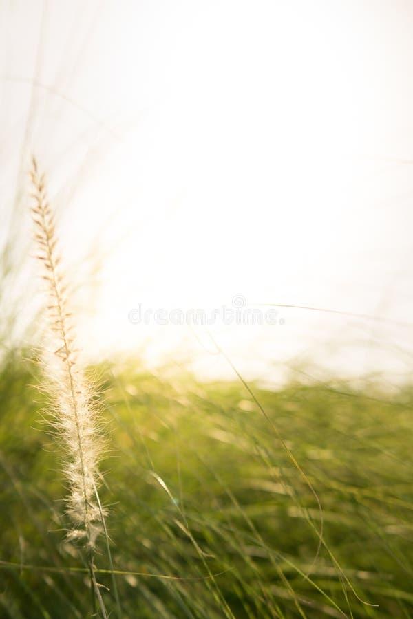 Fleur d'herbe dans le matin photographie stock libre de droits