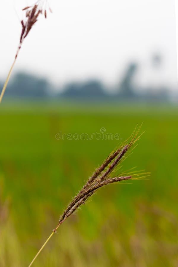 Fleur d'herbe de Brown avec le gisement vert trouble de riz photo libre de droits