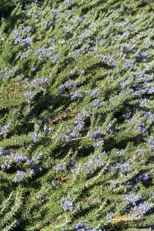 Fleur d'herbe de cuisine de romarin avec les fleurs bleues dans le jardin photographie stock libre de droits