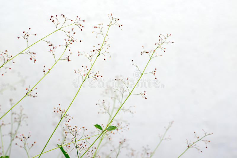 Fleur d'herbe de ginseng image libre de droits