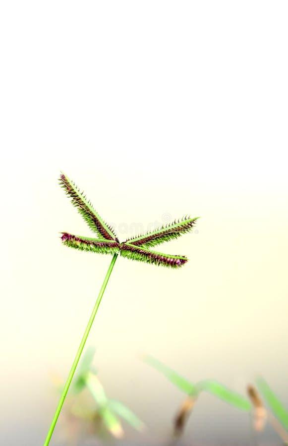 Fleur d'herbe de rallonge coudée photo libre de droits