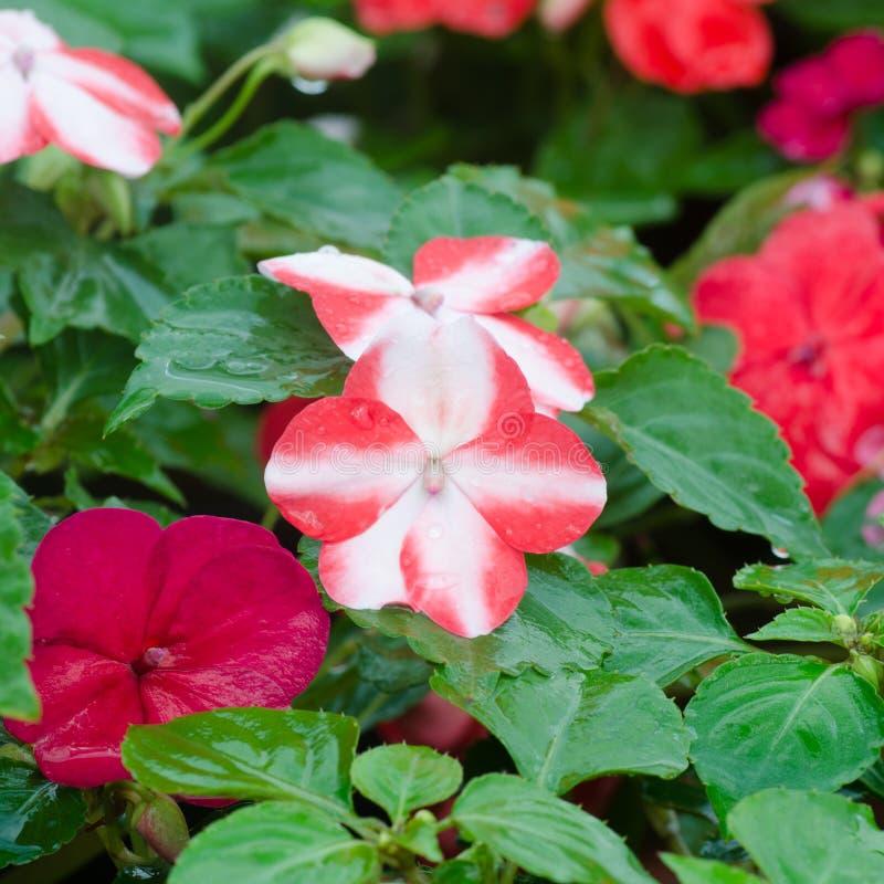 Fleur d'Impatiens photos stock