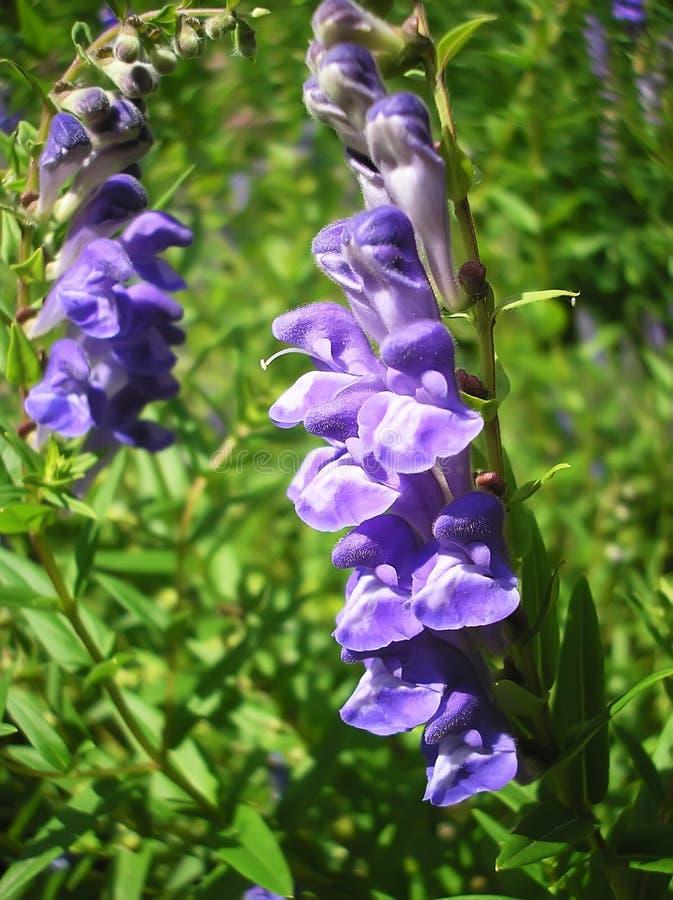 Fleur d'indigo images libres de droits