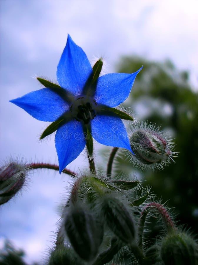 Fleur d'indigo photographie stock libre de droits