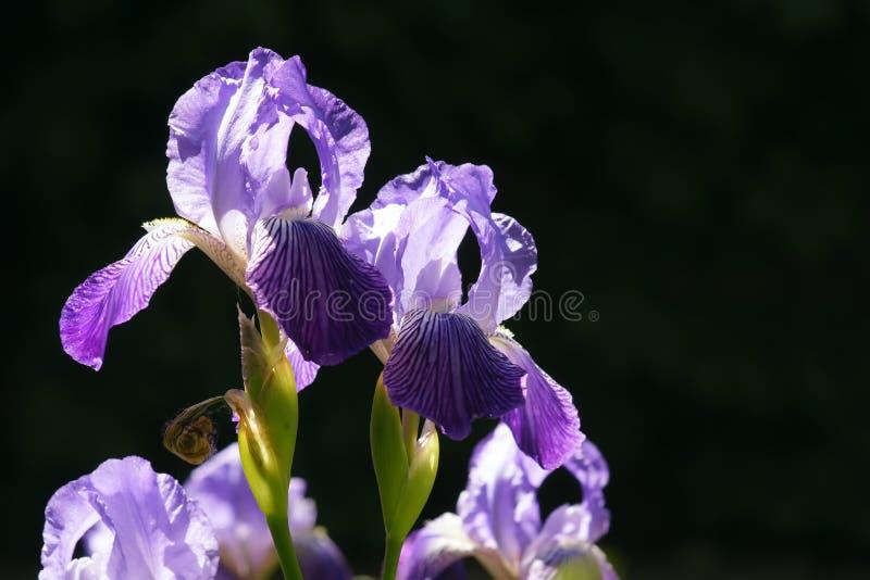 Fleur d'iris images libres de droits