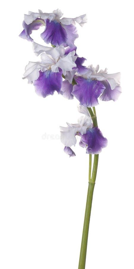 Fleur d'iris d'isolement images libres de droits