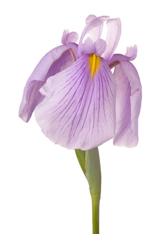 Fleur d'iris d'isolement photo libre de droits