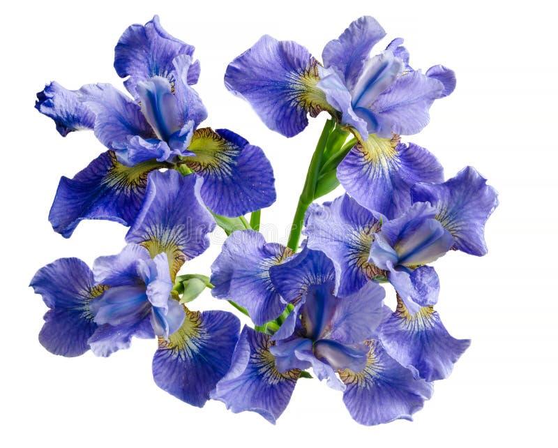 Fleur d'iris de bouquet d'isolement sur le fond blanc photo libre de droits