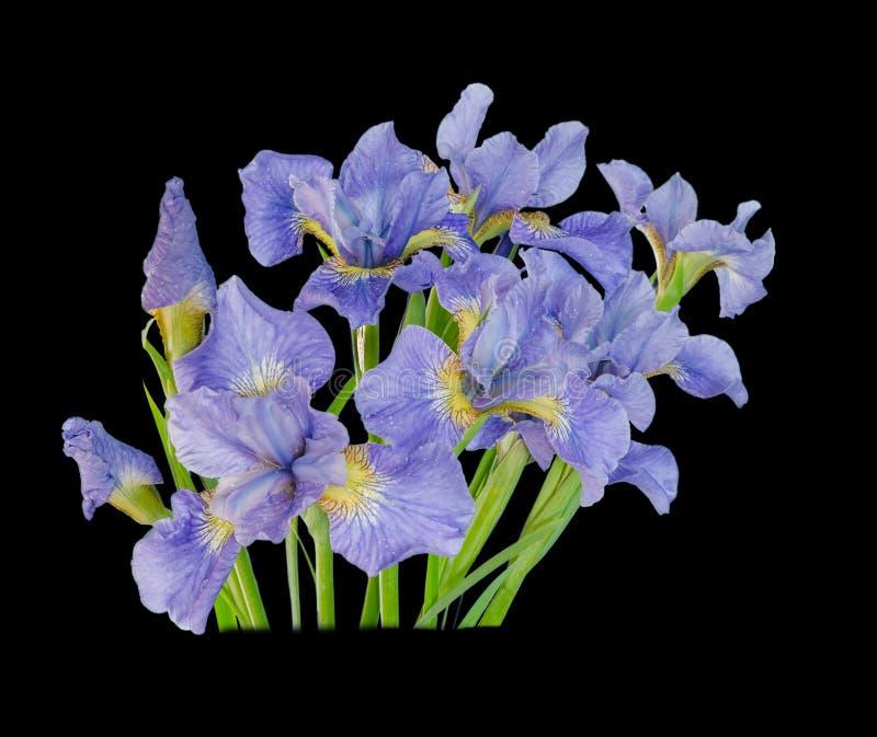 Fleur d'iris de bouquet d'isolement sur le fond noir photo stock