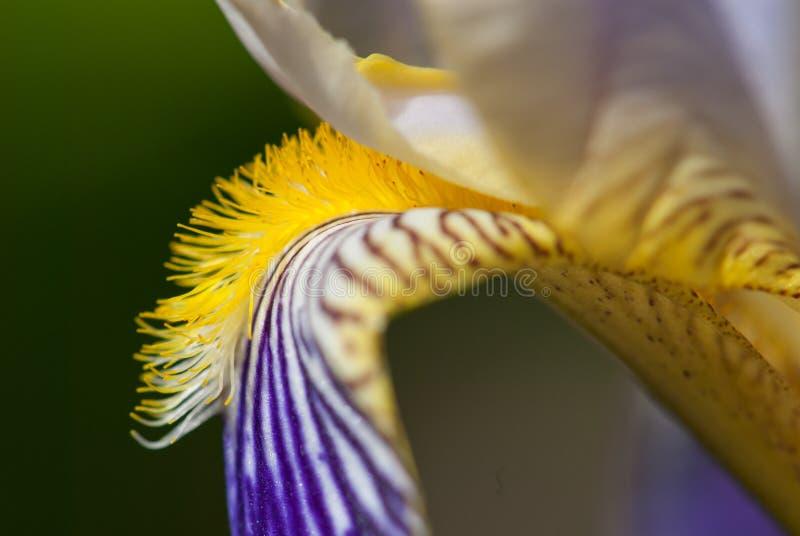 Fleur d'iris germanique, groupe photo stock