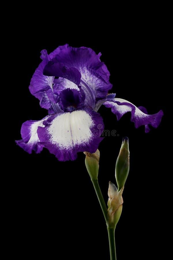 Fleur d'iris d'isolement sur le noir photographie stock