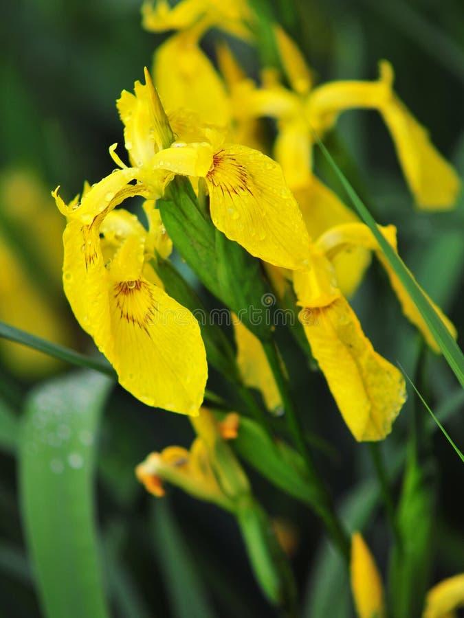 Fleur d'iris jaune photo stock