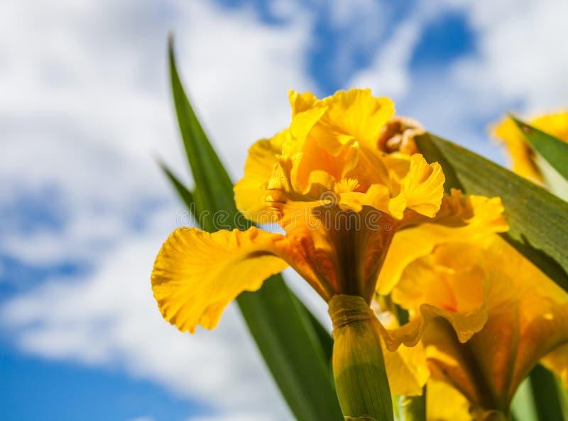 Fleur d'iris jaune photographie stock libre de droits