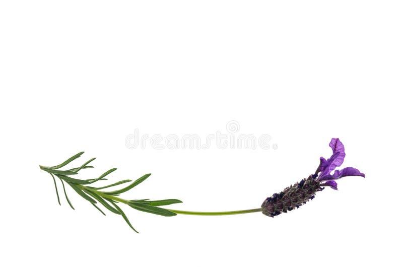 Fleur d'isolement de lavande de jardin sur le fond blanc avec l'espace de copie photo stock